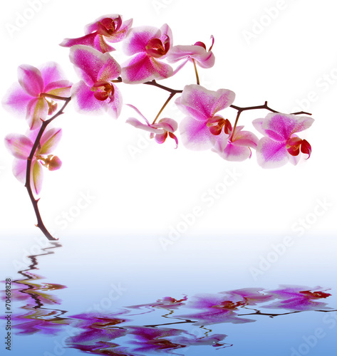 Poster Orchid Pink flowers orchid on a white background and water reflection.