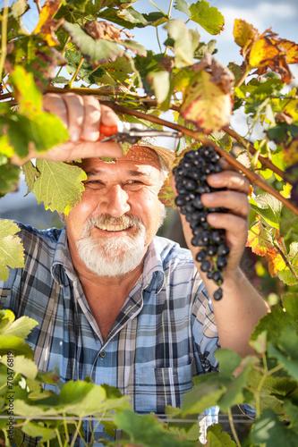 Harvesting Grapes in the Vineyard Fototapete