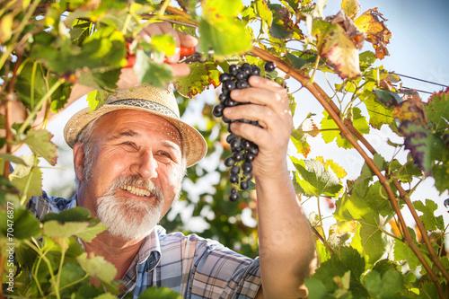 Papiers peints Vignoble Harvesting Grapes in the Vineyard