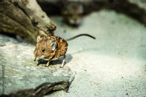 Fotografie, Obraz  Short-eared elephant-shrew