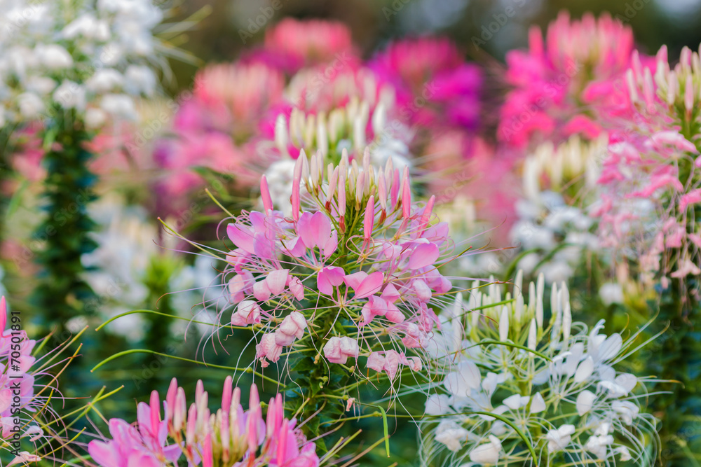 Pink And White Spider flower(Cleome hassleriana)