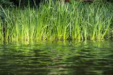 Green Reeds On The Lake Shore