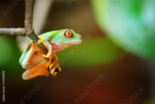Foto op Plexiglas Kikker red-eye tree frog Agalychnis callidryas in terrarium
