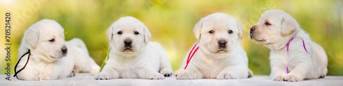 Obraz four labrador puppies - fototapety do salonu