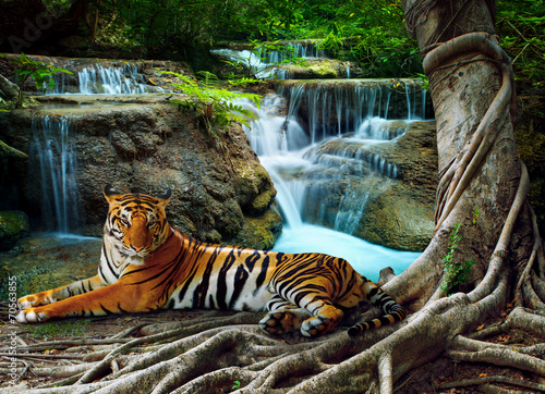 In de dag Tijger indochina tiger lying with relaxing under banyantree against bea