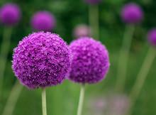 Couple Of The Allium Purple Flowers Growing In The Garden