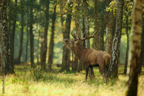Photo sur Aluminium Cerf cerf