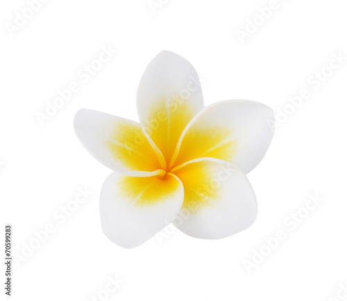 Spoed Foto op Canvas Frangipani Frangipani or Plumeria Flower Isolated on White Background