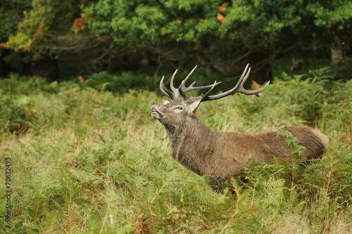 Fotobehang Ree Red Deer, Deer, Cervus elaphus