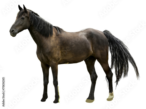 Majestic Stallion Horse Isolated Poster