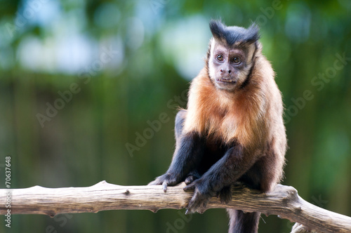 closeup of a capuchin monkey sitting on a branch Wallpaper Mural