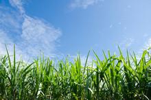 Sugarcane Plants Grow In Field.
