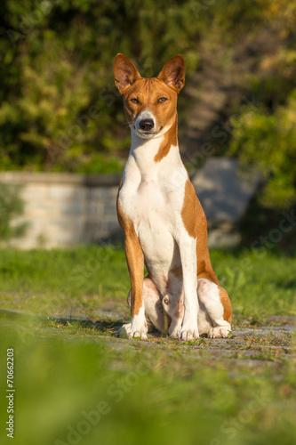 Small Hunting Dog Breed Basenji Buy This Stock Photo And Explore Similar Images At Adobe Stock Adobe Stock