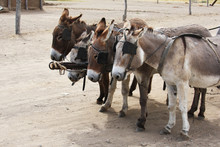 Four Donkeys In The Shore With...