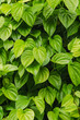 green betel leaves