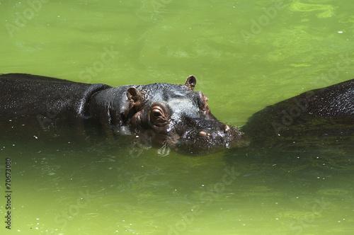 Fotografie, Obraz  Hipopótamo