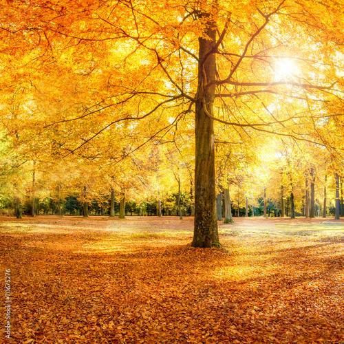 Foto Rollo Basic - Großer Baum im Herbstwald (von eyetronic)