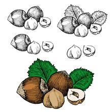 Nut Filbert