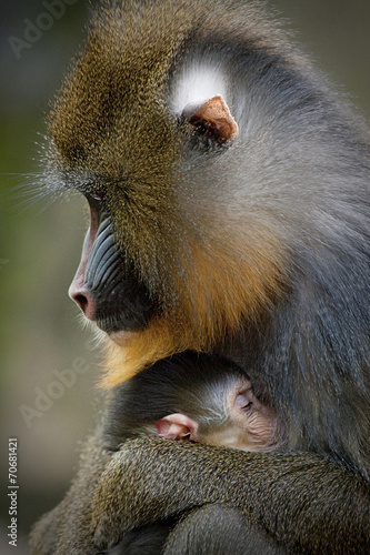 Canvas Prints Monkey Mandril moeder knuffeld jong.