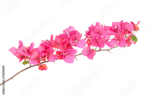 Canvas Print Pink blooming bougainvilleas isolate on white background