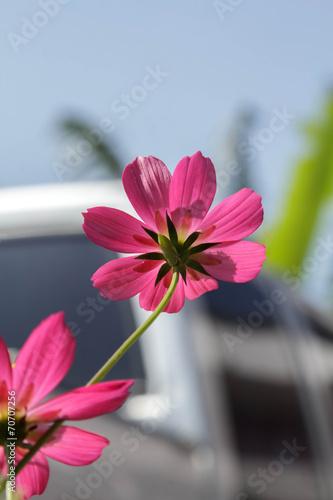 Fototapeta Red cosmos flower obraz na płótnie