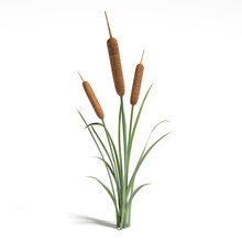 3d Illustration Of A Cattail Plant