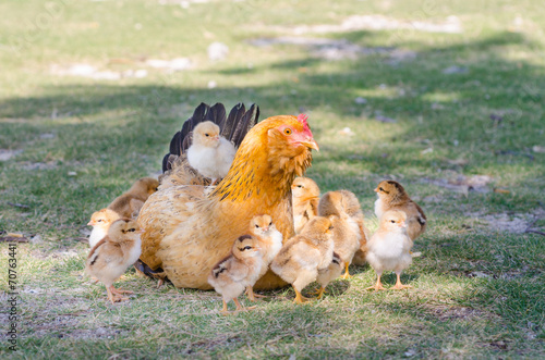Papiers peints Poules Hen with chicks on green grass