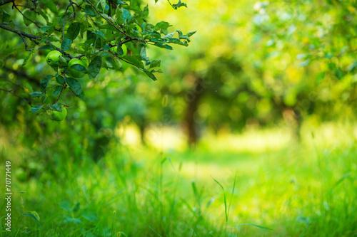 Stampa su Tela Apple garden green sunny background. Summer and autumn season