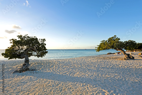 Divi divi trees on Aruba island at sunset Poster