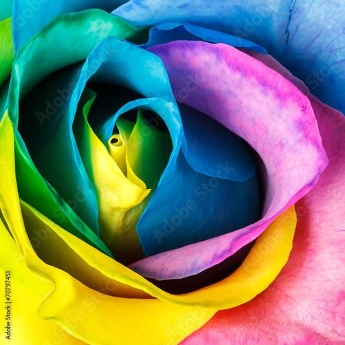 Rainbow rose - 70797451