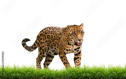 Foto op Aluminium Luipaard jaguar ( panthera onca ) with green grass isolated