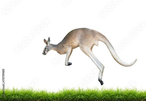 red kangaroo jump on green grass isolated