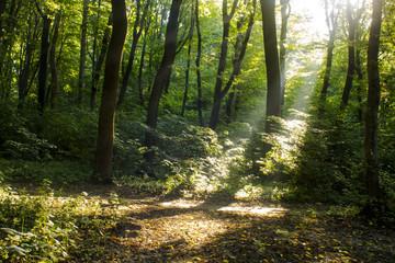Sunlight passes through the maple trees.