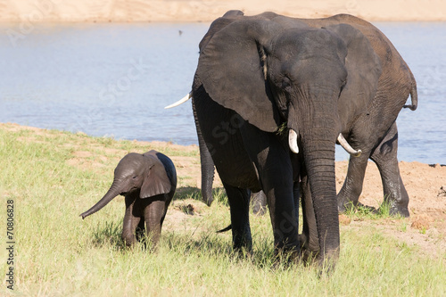Foto op Aluminium Olifant Elephant herd walking over grass after drinking water on hot day