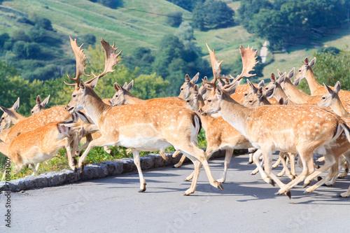 Fotografía  Herd of Fallow Deer (Dama dama)