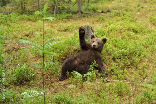 Brown bear cub waving Wallpaper Mural