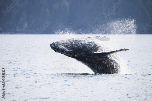 USA, Alaska, Seward, Resurrection Bay, jumping humpback whale Megaptera novaeangliae