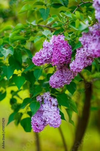 Papiers peints Lilac lilac bushes. flowers close up