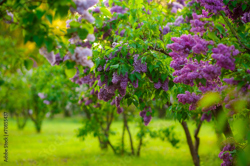 Spoed Foto op Canvas Lilac lilac bushes. flowers close up