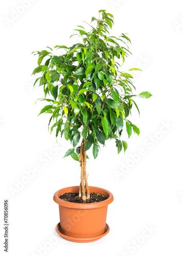 Keuken foto achterwand Planten Ficus benjamina in flowerpot