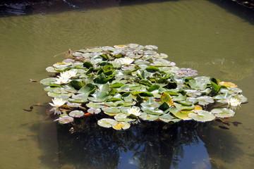 Obraz na płótnie Canvas Wasserbecken mit Seerosen