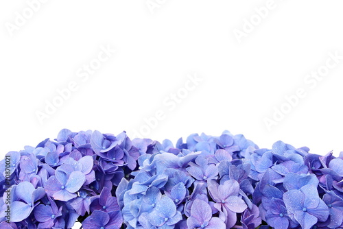Deurstickers Hydrangea Blue hydrangea flower, over the flower you can write some text