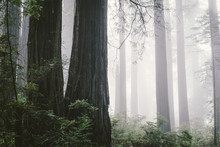 Foggy Redwood Forest In North Coast