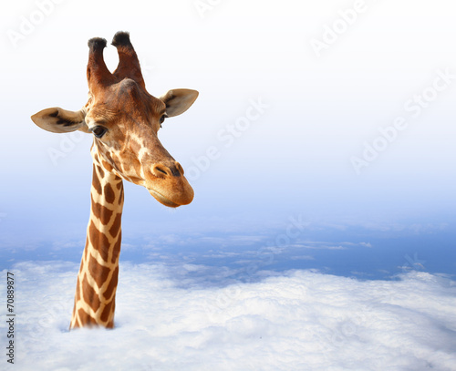 Poster Giraffe Funny giraffe with coming out of the clouds