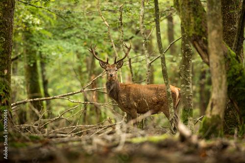 Poster Cerf cerf en forêt