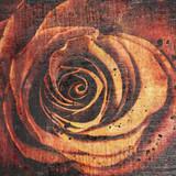 piękna bliska czerwona róża - 70913008
