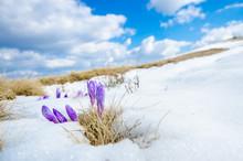 Saffron Crocus First Spring Fl...