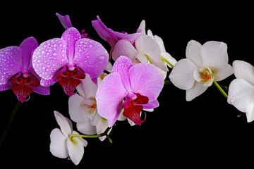 Fototapeta Egzotyczne Wet orchids closeup