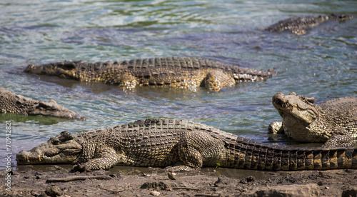 Deurstickers Krokodil Crocodiles at the crocodile's farm in Guama, Cuba