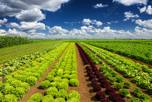 Foto op Canvas Cultuur Agricultural industry. Growing salad lettuce on field